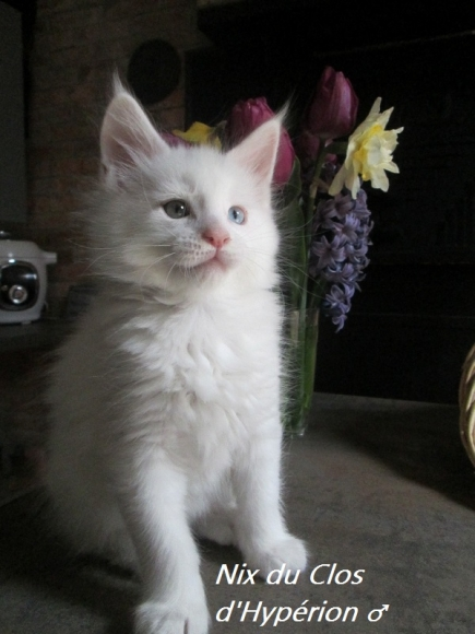 Chatons Maine Coon LOOF acheter vendre
